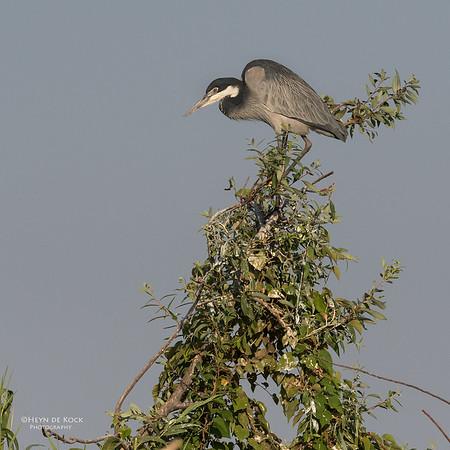 Black-headed Heron, Chobe River, NAM, Oct 2016-1