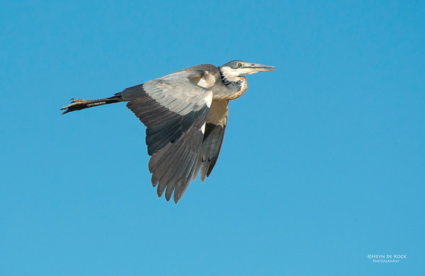 Black-necked Heron, Addo Elephant NP, EC, SA, Dec 2013-1