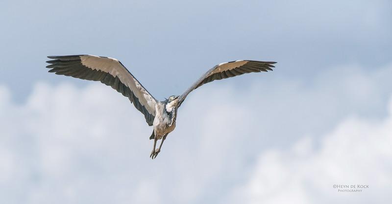 Black-necked Heron, Addo Elephant NP, EC, SA, Dec 2013
