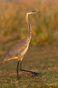 Goliath Heron, imm, Chobe River, NAM, Oct 2016-1