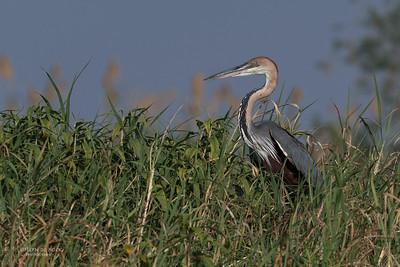 Goliath Heron, Chobe River, NAM, Oct 2016-1
