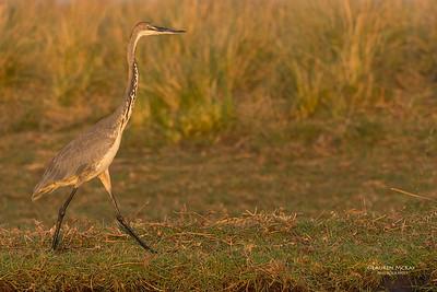 Goliath Heron, imm, Chobe River, NAM, Oct 2016-3