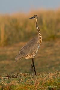 Goliath Heron, imm, Chobe River, NAM, Oct 2016-2