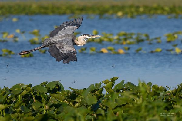 Great Blue Heron, Kissimmee Swamp, Kenansville, FL, US, May 2018-3