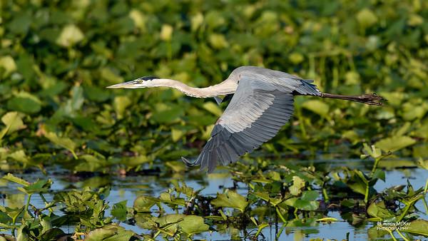 Great Blue Heron, Kissimmee Swamp, Kenansville, FL, US, May 2018-2
