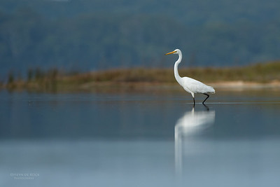 Great Egret, Lake Wollumboola, NSW, Nov 2014-1