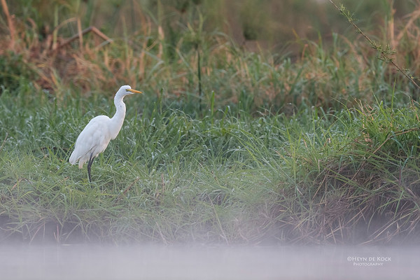 Great Egret, Chobe River, NAM, Oct 2016-1