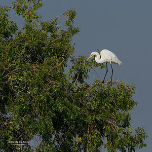Great Egret, Chobe River, NAM, Oct 2016-5