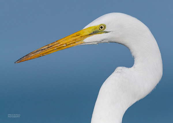 Great Egret, Fort De Soto, St Petersburg, FL, USA, May 2018-1