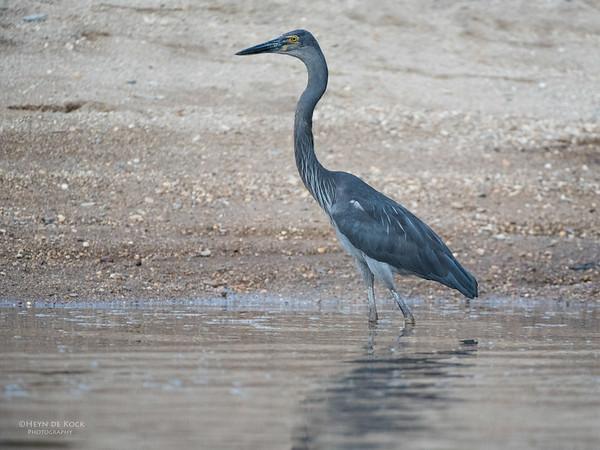 Great-billed Heron, Daintree River, QLD, Dec 2014-2