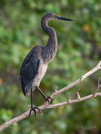 Great-billed Heron, Cairns, QLD, Dec 2009