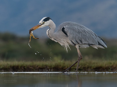 Grey Heron & African Clawed Frog, Zimanga, South Africa, May 2017-2