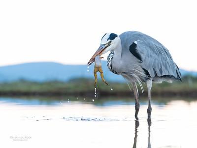 Grey Heron & African Clawed Frog, Zimanga, South Africa, May 2017-7