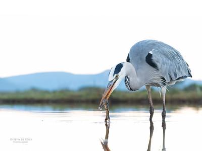 Grey Heron & African Clawed Frog, Zimanga, South Africa, May 2017-9