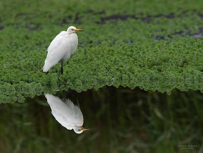 Intermediate Egret, Nowra, NSW, Aus, Nov 2012-2