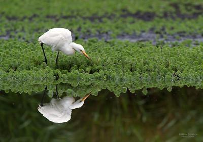 Intermediate Egret, Nowra, NSW, Aus, Nov 2012