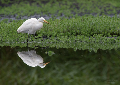 Intermediate Egret, Nowra, NSW, Aus, Nov 2012-1