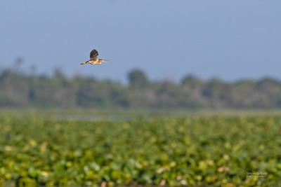 Least Bittern, Kissimmee Swamp, Kenansville, FL, US, May 2018-2