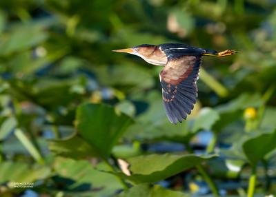 Least Bittern, Kissimmee Swamp, Kenansville, FL, US, May 2018-1