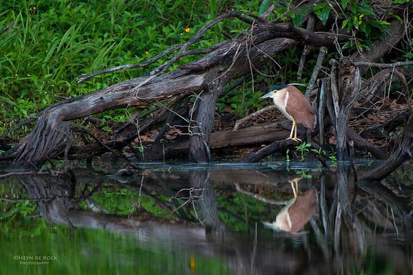 Nankeen Night-Heron, Mudgeeraba, QLD, Dec 2014