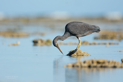 Eastern Reef Egret, Lady Elliot Island, QLD, Dec 2015-12