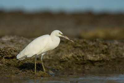 Eastern Reef Egret, Lady Elliot Island, QLD, Dec 2015-3