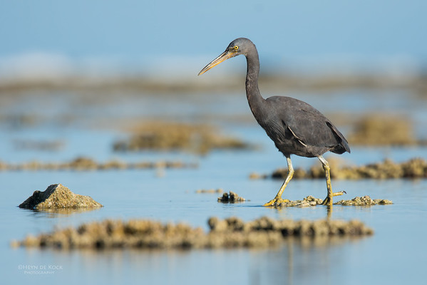 Eastern Reef Egret, Lady Elliot Island, QLD, Dec 2015-11
