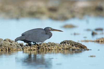 Eastern Reef Egret, Lady Elliot Island, QLD, Dec 2015-9