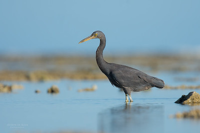 Eastern Reef Egret, Lady Elliot Island, QLD, Dec 2015-13