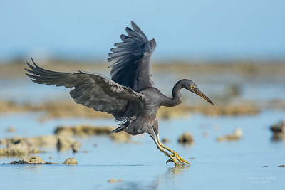 Eastern Reef Egret, Lady Elliot Island, QLD, Dec 2015-10