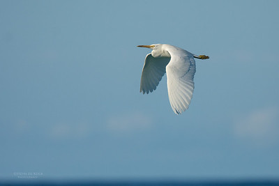 Eastern Reef Egret, Lady Elliot Island, QLD, Dec 2015-5