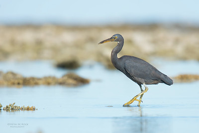 Eastern Reef Egret, Lady Elliot Island, QLD, Dec 2015-8