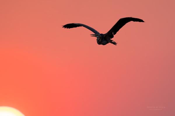 Purple Heron, Chobe River, NAM, Oct 2016-2