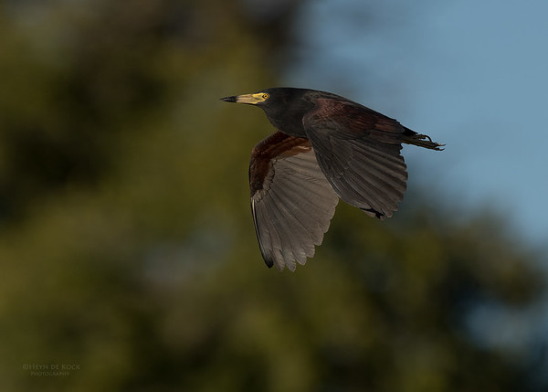 Rufous-bellied Heron, Eagle Island, Okavango Delta, Botswana, May 2017-1