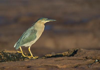 Striated Heron, Windang, NSW, Aus, Aug 2013-1