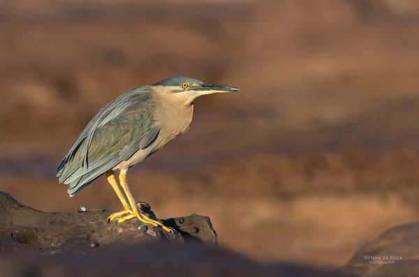 Striated Heron, Windang, NSW, Aus, Aug 2013