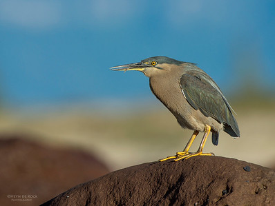 Striated Heron, Windang, NSW, Aus, Aug 2013-2