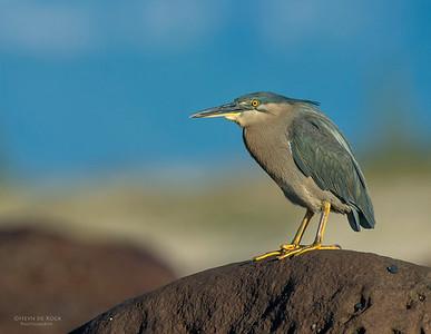 Striated Heron, Windang, NSW, Aus, Aug 2013-3