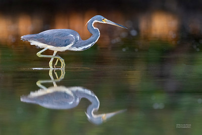 Tricolored Heron, Fort De Soto, St Petersburg, FL, USA, May 2018-1