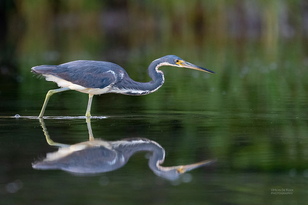 Tricolored Heron, Fort De Soto, St Petersburg, FL, USA, May 2018-2
