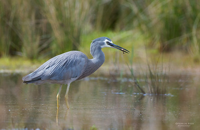 White-faced Heron, Nowra, NSW, Aus, Oct 2012-3
