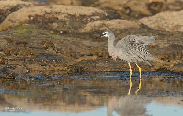 White-faced Heron, Belambi Beach, NSW, Aus, Oct 2012-2