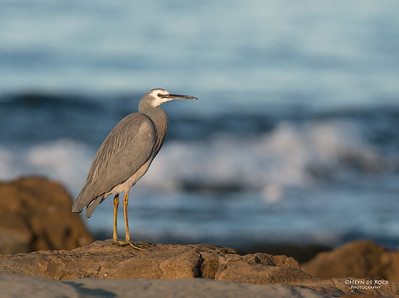 White-faced Heron, Bellambi Beach, NSW, Aus, Sep 2012