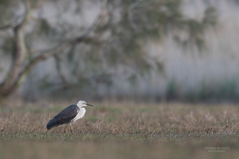 White-necked Heron, Nathan Rd Wetlands, Brisbane, QLD, Sept 2017-1