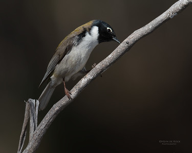 Black-headed Honeyeater, Bruny Island, TAS, Sept 2016-1