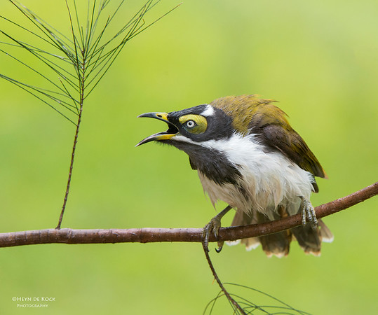 Blue-faced Honeyeater, imm, Tallai, QLD, Aus, April 2013-2