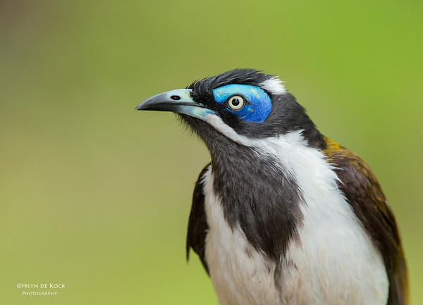 Blue-faced Honeyeater, Tallai, QLD, Aus, April 2013