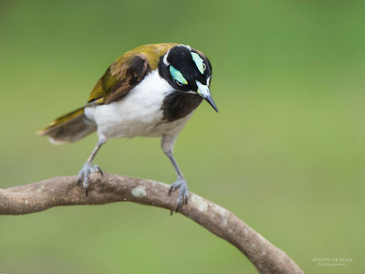 Blue-faced Honeyeater, Tallai, QLD, Dec 2014