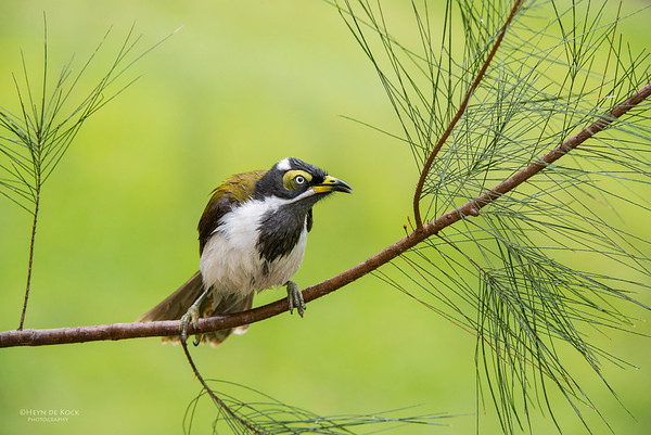 Blue-faced Honeyeater, imm, Tallai, QLD, Aus, April 2013-1