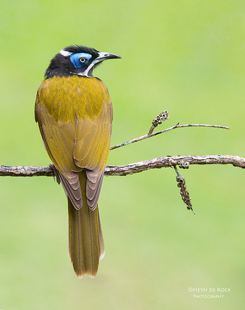 Blue-faced Honeyeater, Tallai, QLD, Aus, April 2013-1